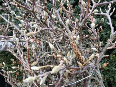 11.26.18 Tulip Magnolia Specimen Budded Branches