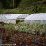 Spirea Plants