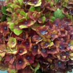 Purple pistacio hydrangea