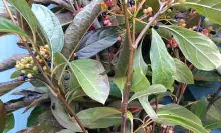 11.09.20 Viburnum Berries Specialty Cut Viburnum Flowers