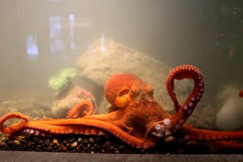 montgomery HMSC octopus