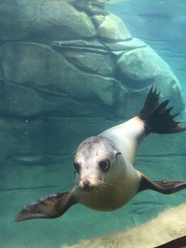 Rosa Sea Lion Pinnipeds