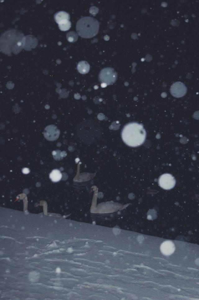 Vinter Swans don't mind the koldt.