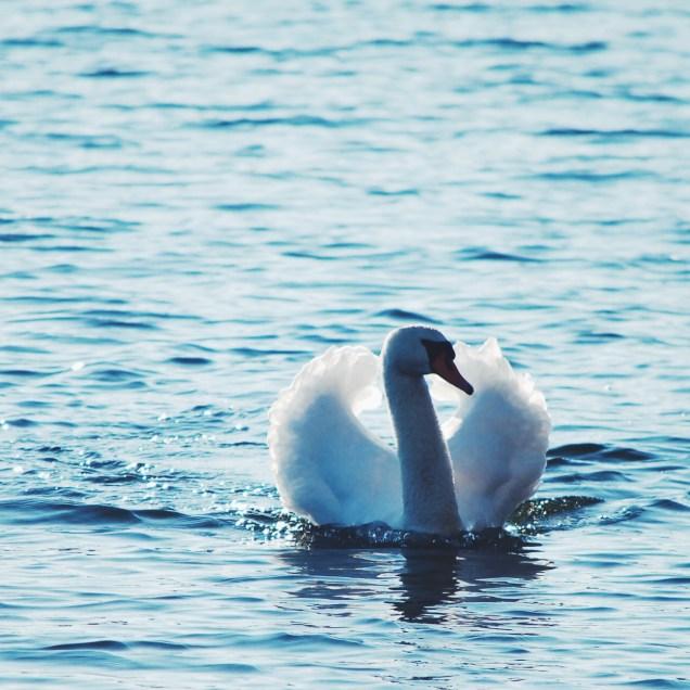 Swan lake - Copenhagen