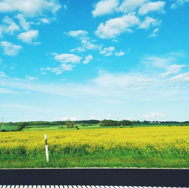 Fields full of briliant yellow brassica