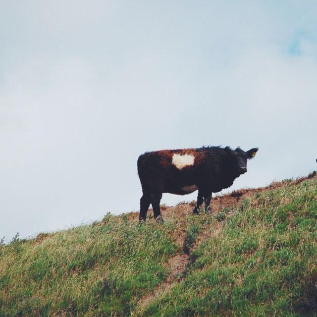 Happy Danish cows