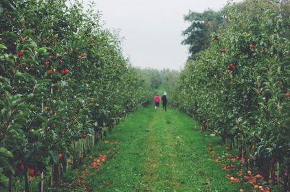 Pluk Selv - Self pick apples in Denmark