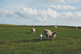 Scotland baby spring lambs