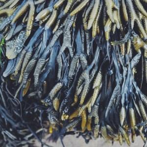 Whitby, Yorkshire, UK limpets, mollusks, tidepools seaside