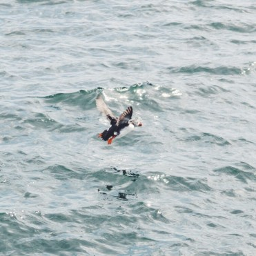 Farne Islands Northumberland UK Seabird
