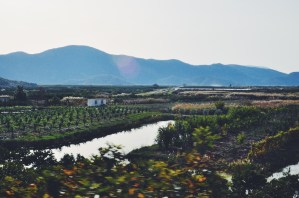 Citrus groves and fig trees