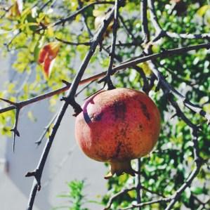Pomegranates hang heavy on Croatian trees