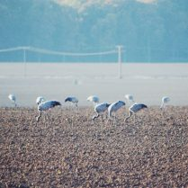 Cranes in open field Ruegen Deutschland