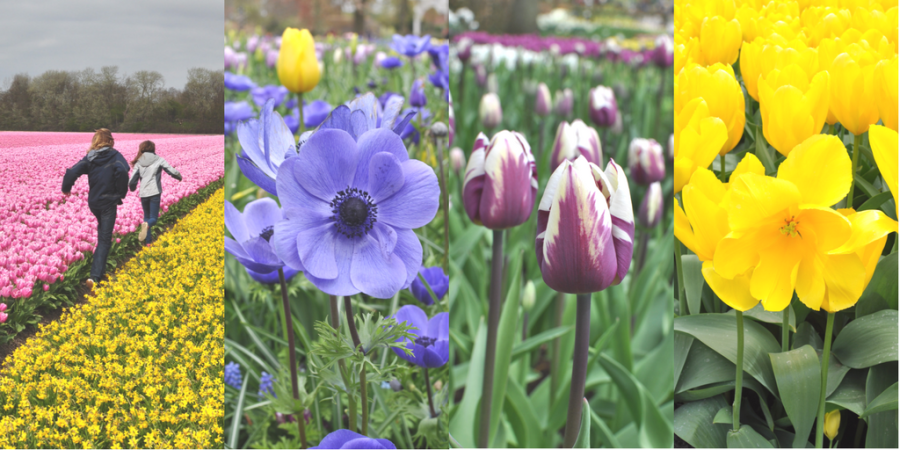 Tulip time   3 ways to feel the bloom in the Netherlands   via Oregon Girl Around the World