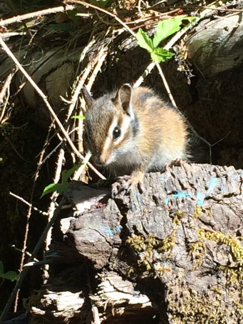A chipmunk photographed by my 11 year old daughter on one of our adventures