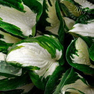 another Pacific NW garden staple, the hosta