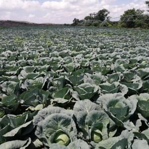 organic-cabbage
