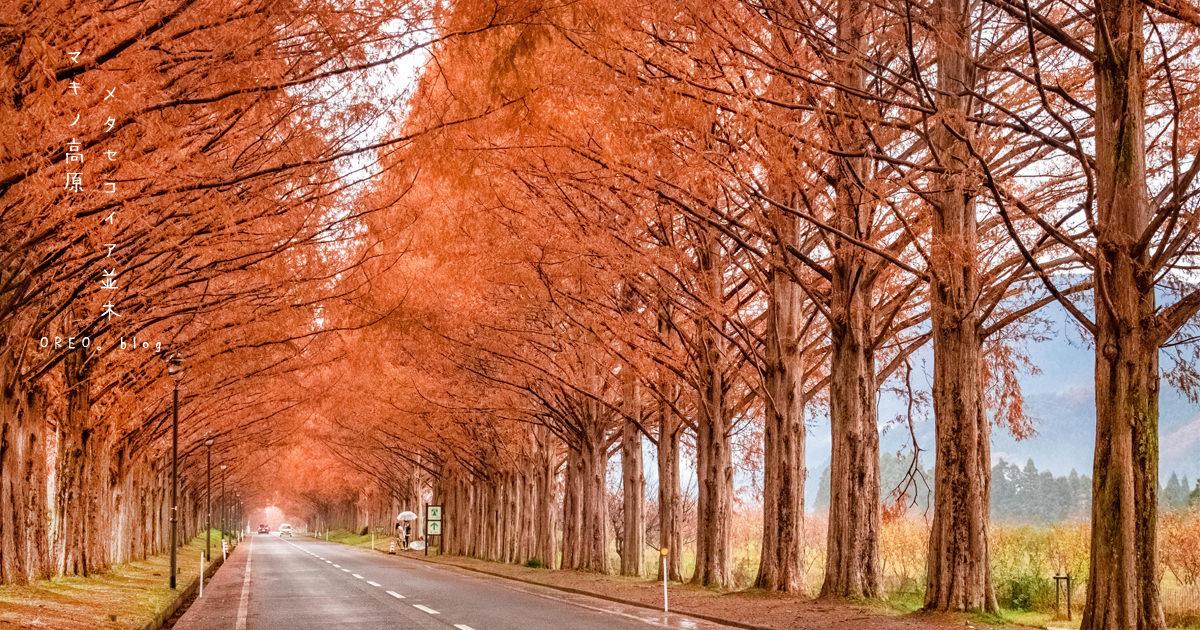 關西紅葉景點│滋賀秋天絕景~メタセコイア並木道(水杉道)~蓋好蓋滿的浪漫紅葉啊!