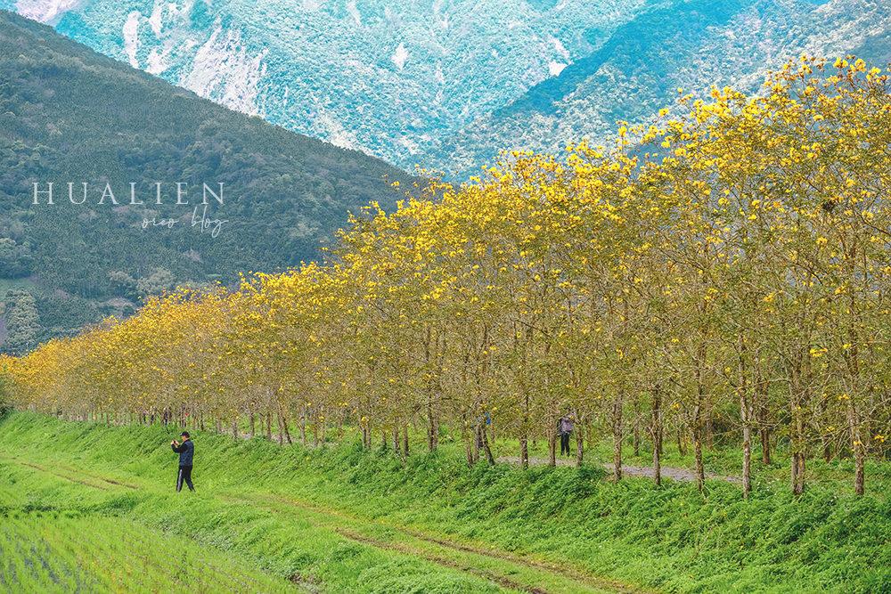 花蓮景點 富源黃花風鈴木~整排的金黃並木~詳細位置與拍攝構圖方式分享