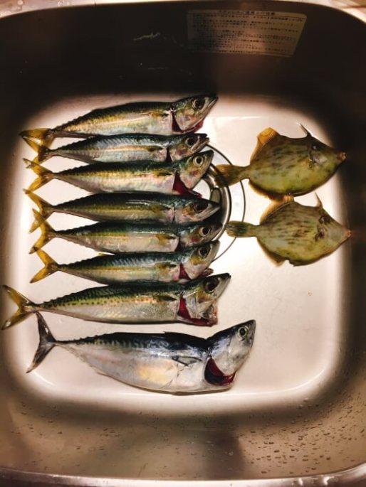 小網代湾の釣果