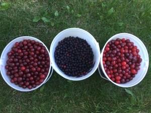 Harvest at the U-pick farm
