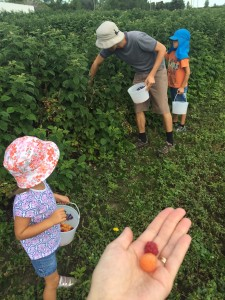 Raspberries at U-pick farm