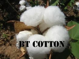 GMO cotton