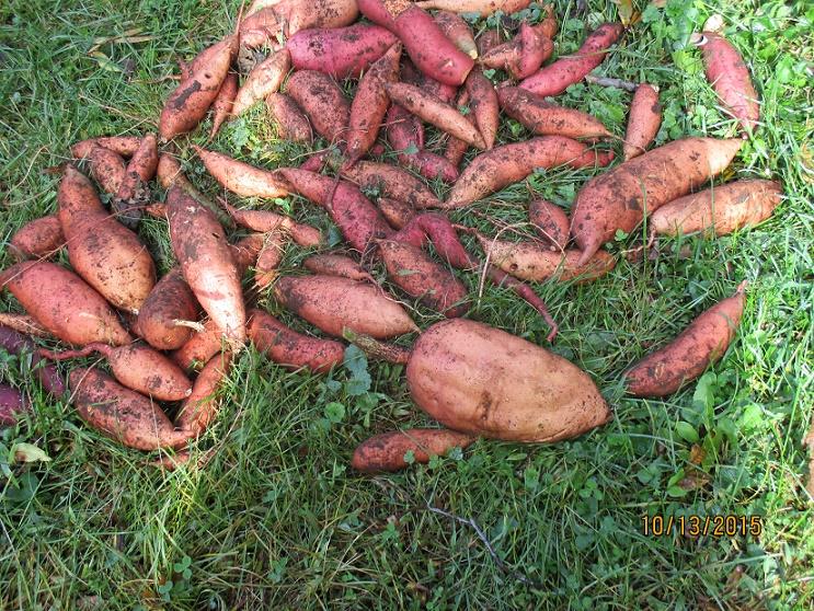 sweet potatoes lying in grass