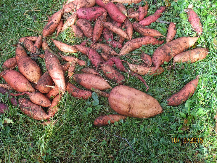 sweet potatoes lying in grass