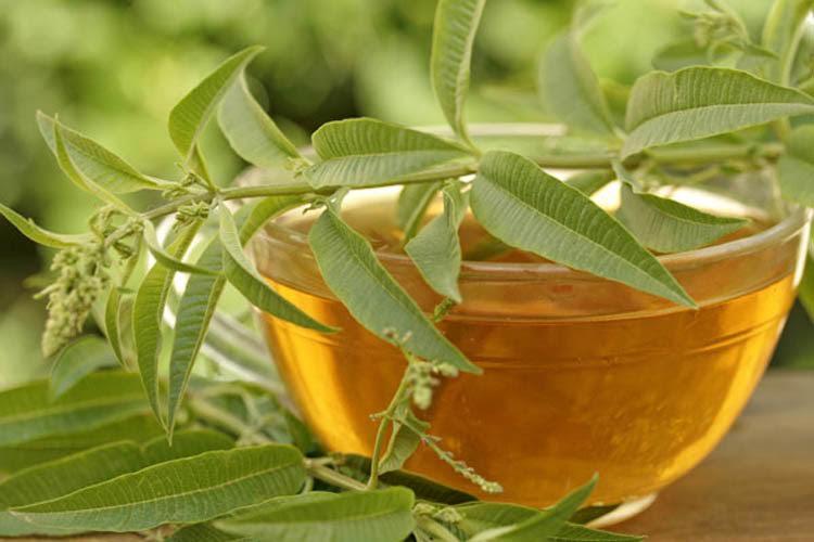 senna plant