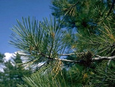 pinene and pine share smell