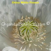 China White Papaver Somniferum Poppy Flower