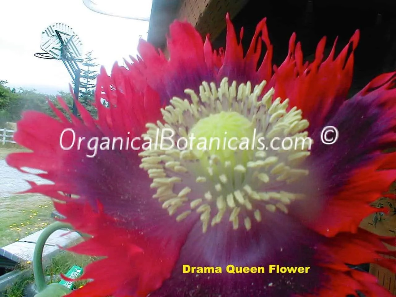 Somniferum exotic mix top shelf quality poppy seeds organical drama queen papaver somniferum poppy flower mightylinksfo