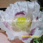 Giganteum Papaver Somniferum Poppy Flower - GIANT BLOOMS