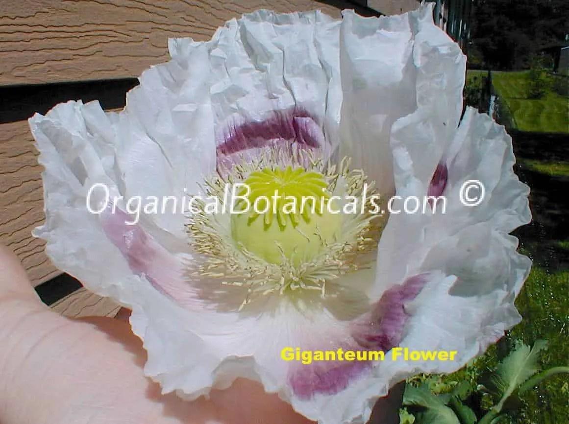 Giganteum Papaver Somniferum Poppy Flower - GIANT BLOOMS