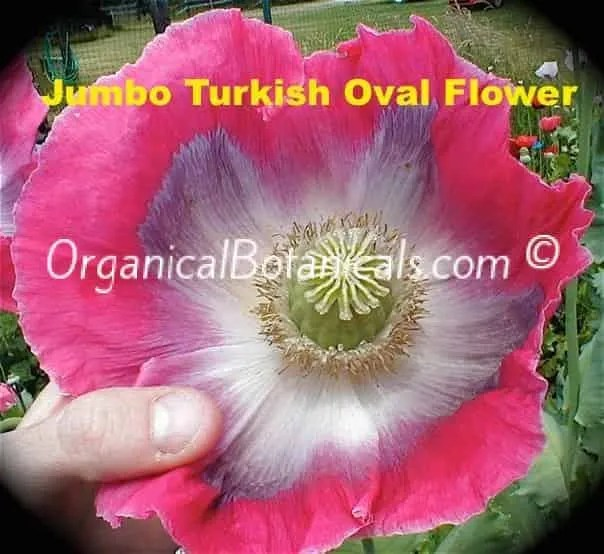Jumbo Turkish Oval Somniferum Poppy