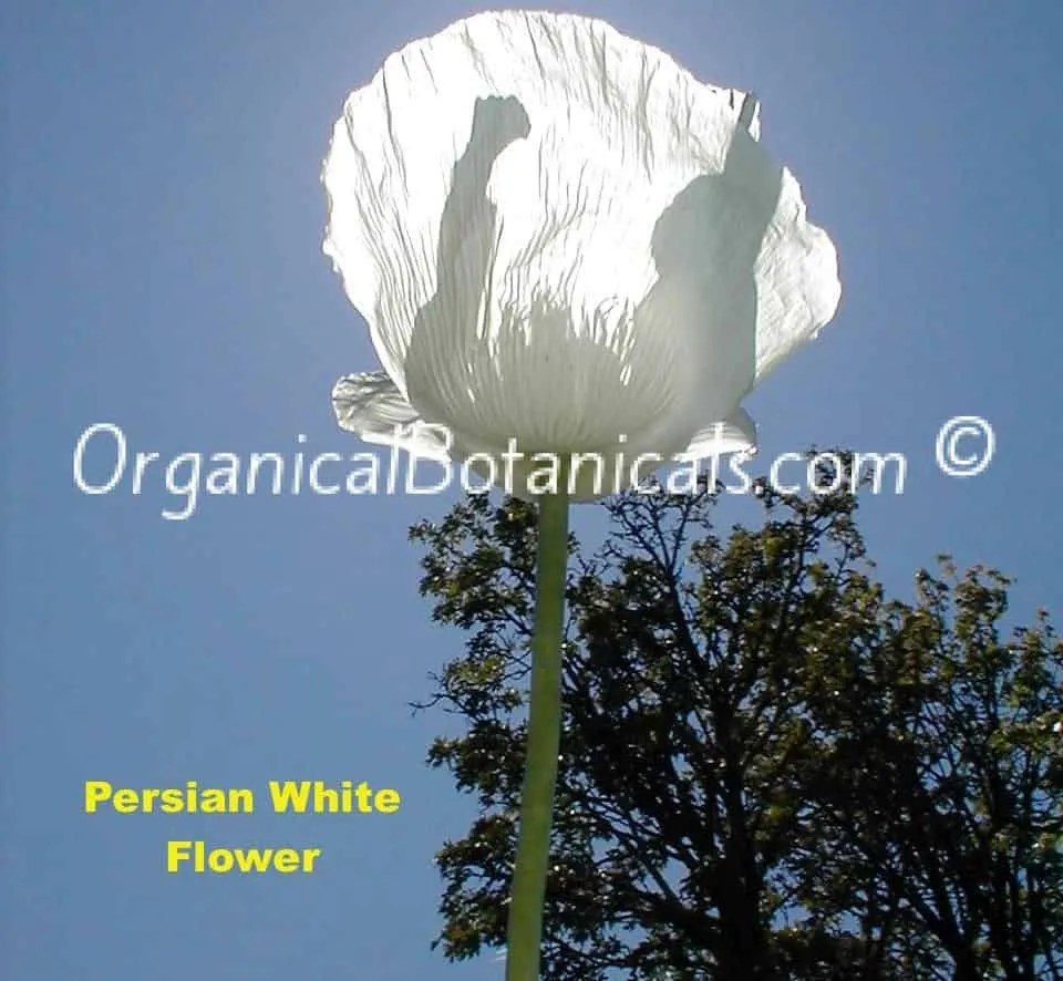Persian White Papaver Somniferum Poppy Flower