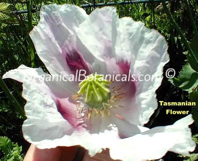 Tasmanian Somniferum Poppy Flower
