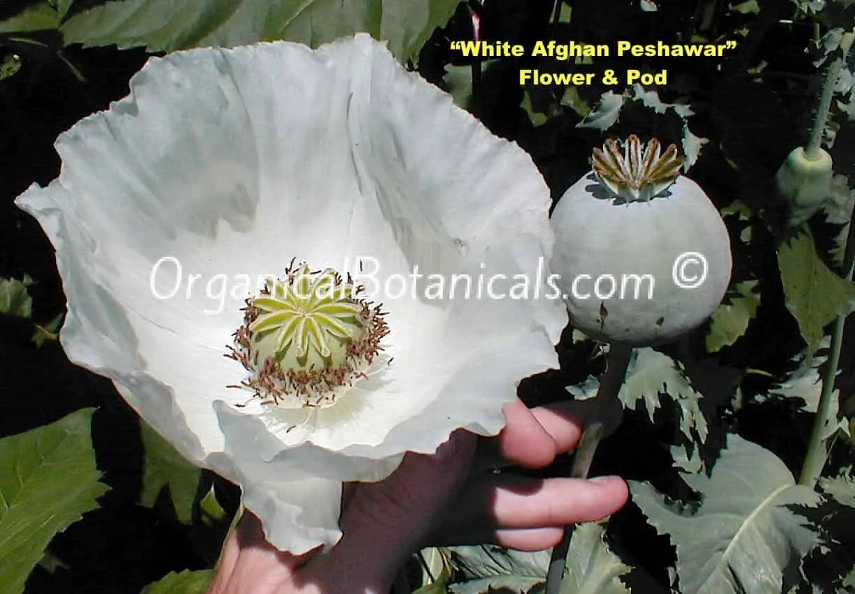 White Afghan Peshawar Papaver Somniferum Poppy Seeds Organical