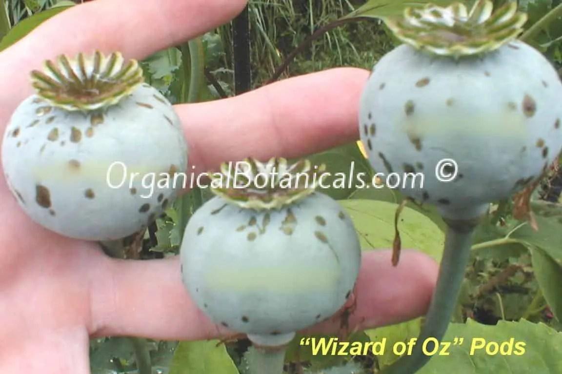 'Wizard of Oz' Red Somnferum Poppy Seed Pods