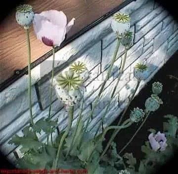 "300+ ""Izmir Bush"" PAPAVER SOMNIFERUM POPPY SEEDS"