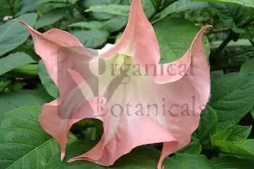 Pink BRUGMANSIA SUAVEOLENS Datura Angel Trumpet Seed