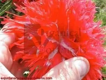 "300+ ""Fire & Snow Peony"" PAPAVER SOMNIFERUM POPPY SEEDS"