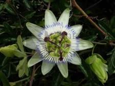 CAERULA blue passionflower seeds