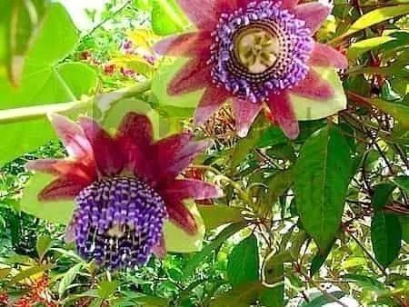 Giant Passiflora quadrangularis Seeds