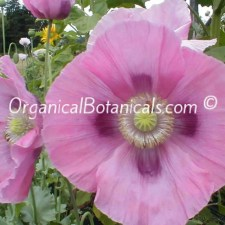 Afghan Pink Sunset Papaver Somniferum Poppies 4