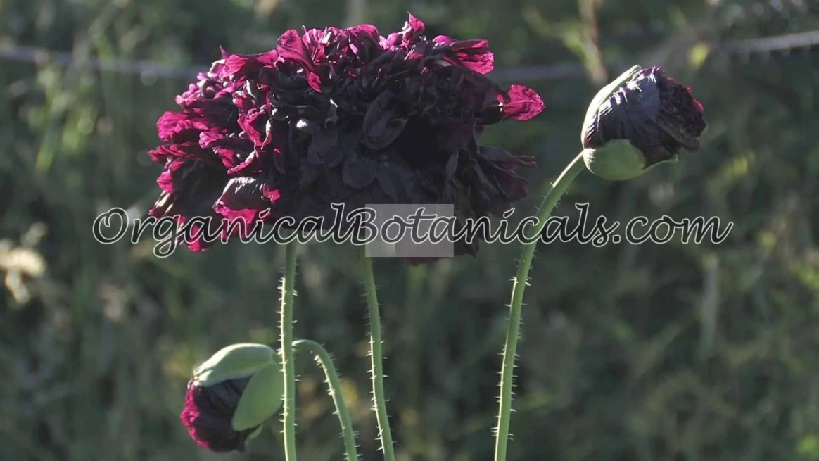 'Izmir India Black' Papaver Somniferum Poppy Flower