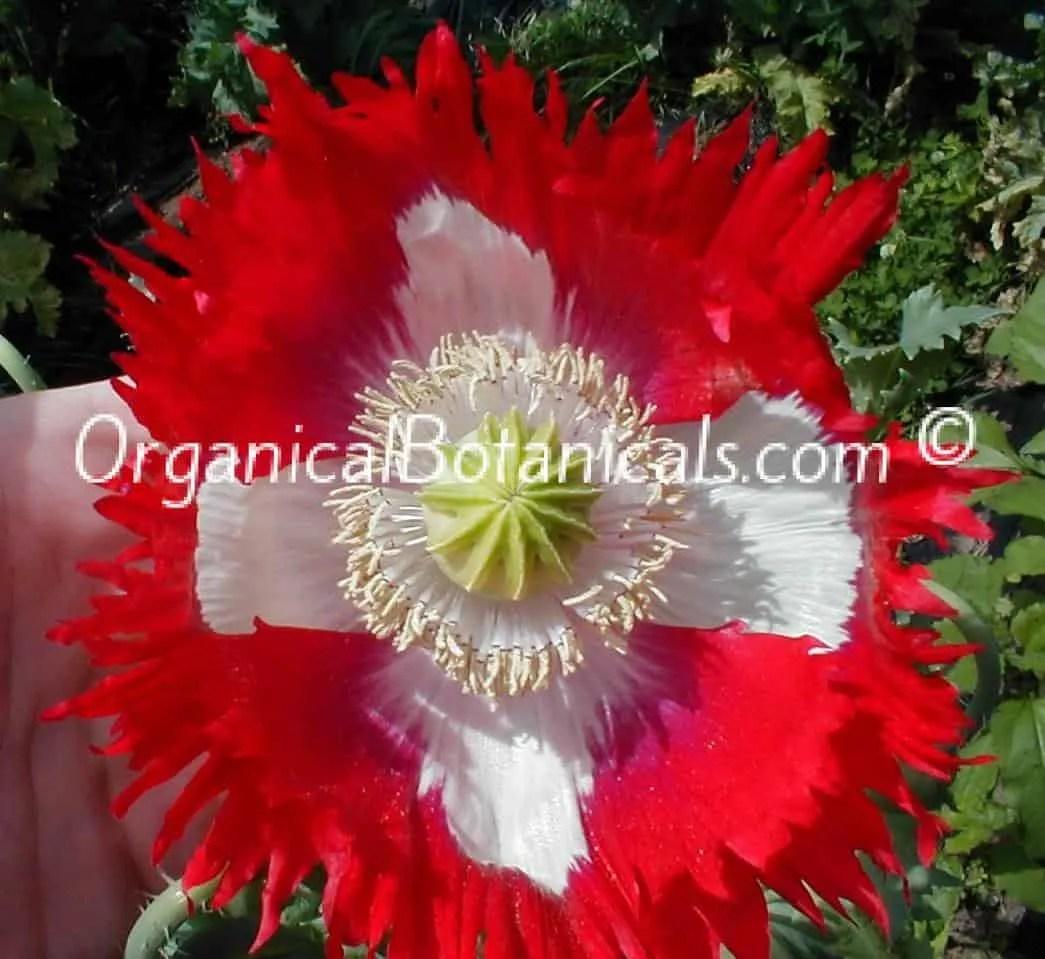 Danish Flag Red N White Somniferum Poppy Seeds Organical Botanicals