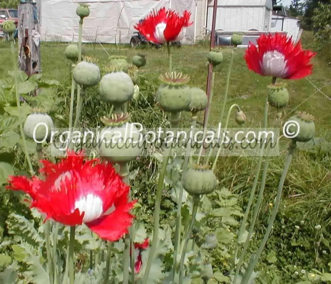 Danish flag red n white somniferum poppy seeds organical botanicals danish flag papaver somniferum afghan opium poppy flower mightylinksfo