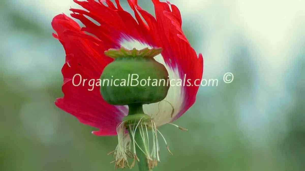 Danish flag red n white somniferum poppy seeds organical botanicals danish flag papaver somniferum afghan opium poppy flower pod mightylinksfo Gallery